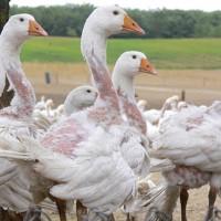 animaux-plumage-duvet-oie-04